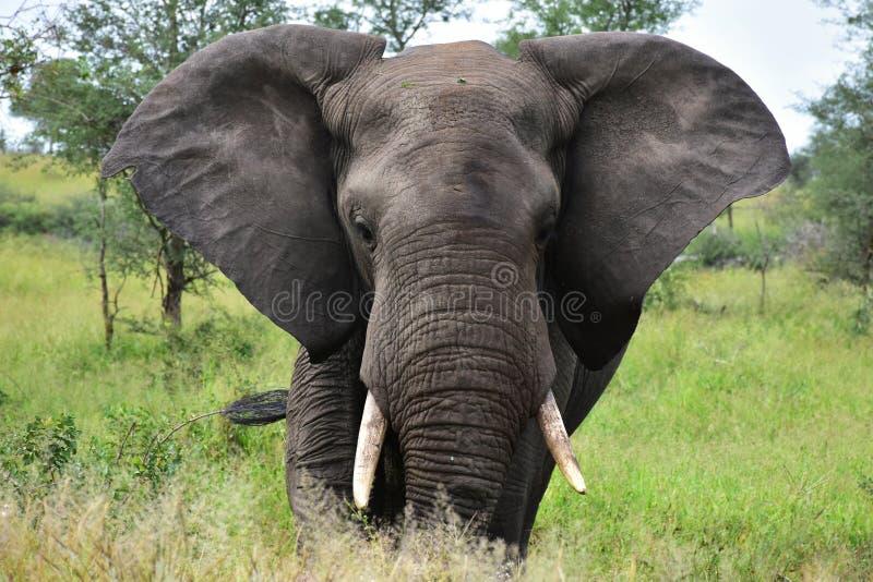 Elefante masculino grande que vai para o fotógrafo foto de stock