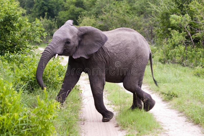 Elefante masculino joven en el parque de Kruger fotografía de archivo