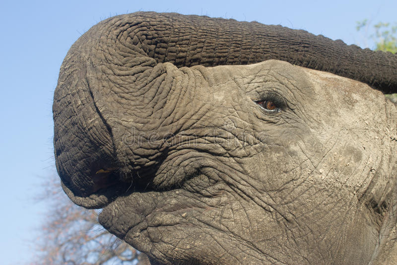 Elefante, Mosi-oa-Tunya parque nacional, Zâmbia imagens de stock