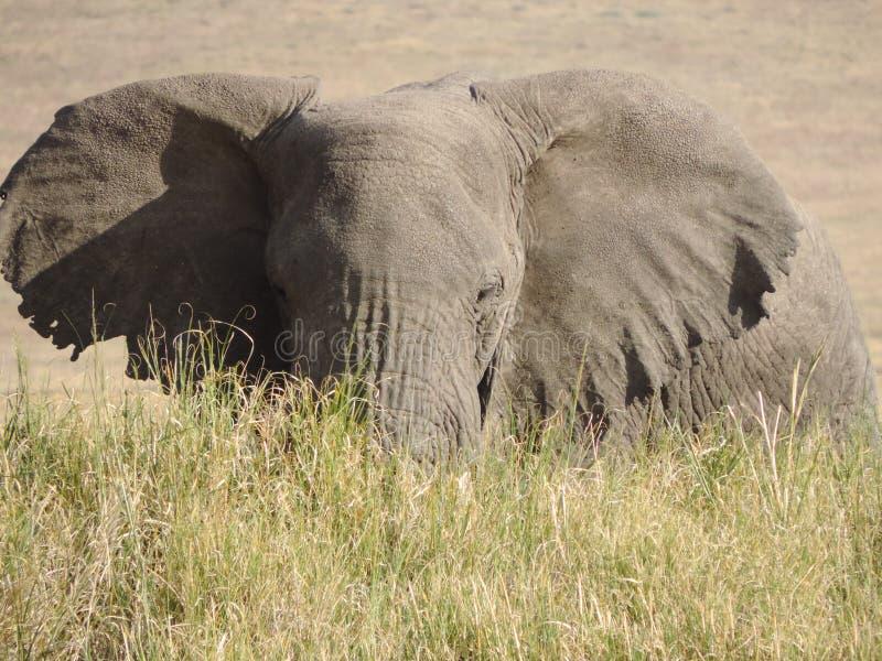 Elefante na grama longa foto de stock royalty free