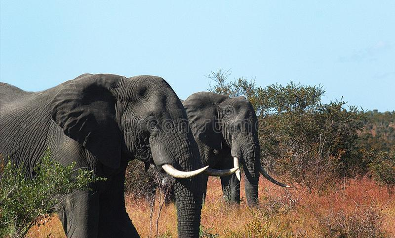 Elefante in natura fotografia stock libera da diritti