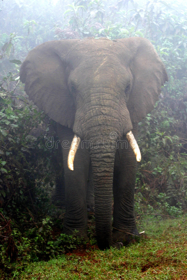 Elefante nebbioso fotografia stock libera da diritti