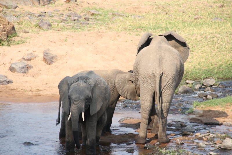 Elefante nel cespuglio al parco nazionale di ruaha fotografia stock libera da diritti