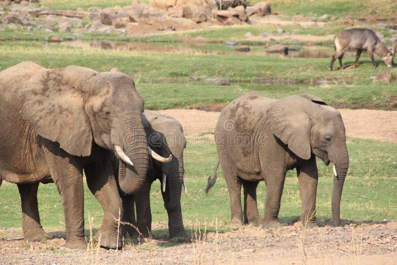 Elefante nel cespuglio al parco nazionale di ruaha fotografie stock libere da diritti