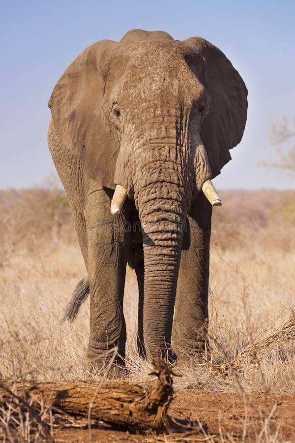 Elefante nel parco nazionale di Kruger, Sudafrica fotografia stock