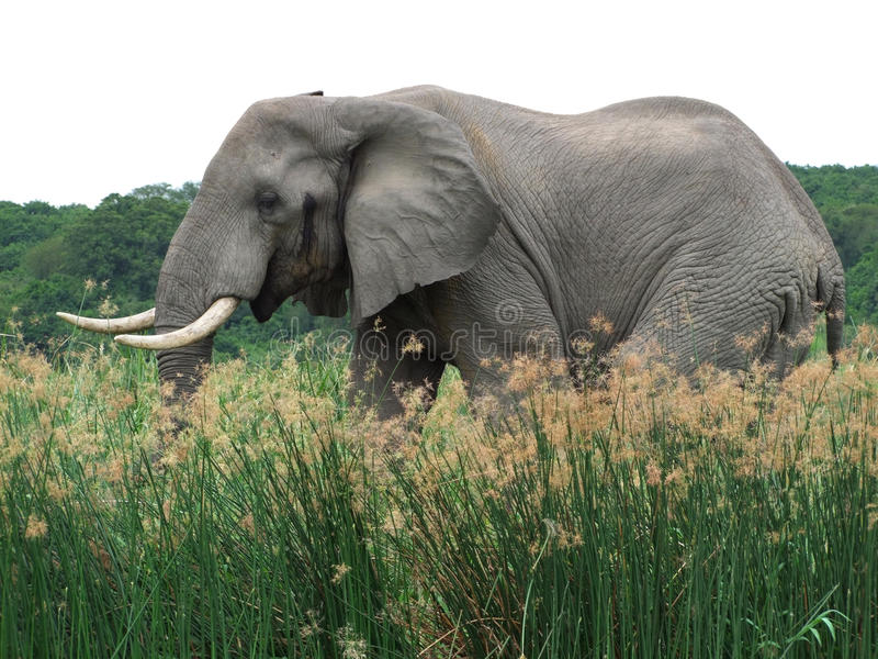 Elefante nell'Uganda immagine stock libera da diritti