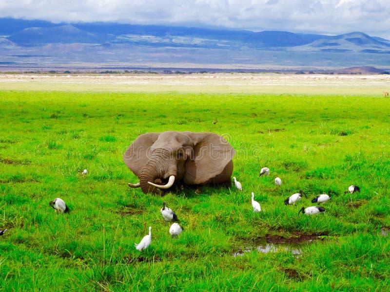 Elefante nella palude immagine stock