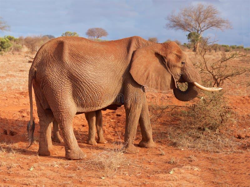 Elefante nella risoluzione extra-alto della savana immagini stock