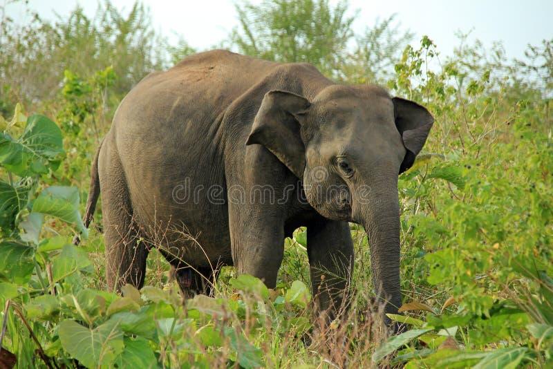 Elefante no arbusto imagens de stock