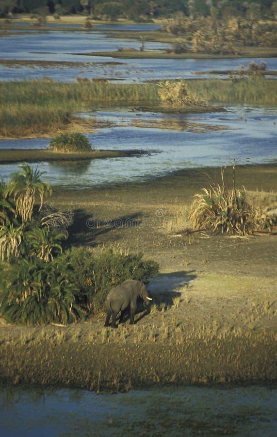 Elefante no delta de Okavango, Botswana imagem de stock royalty free