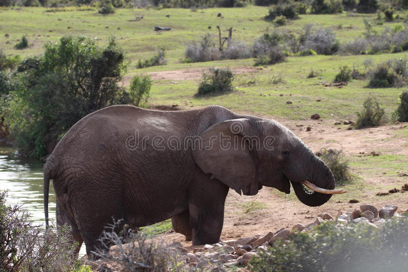 Elefante no furo de água foto de stock royalty free