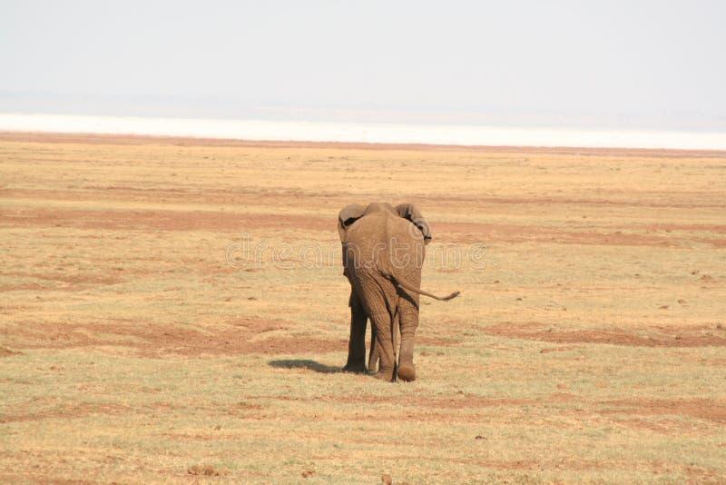 Elefante no lago Manyara imagem de stock