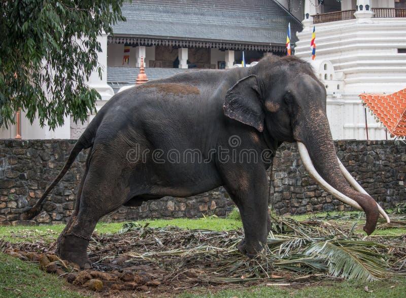 Elefante no perahara de kandy fotos de stock