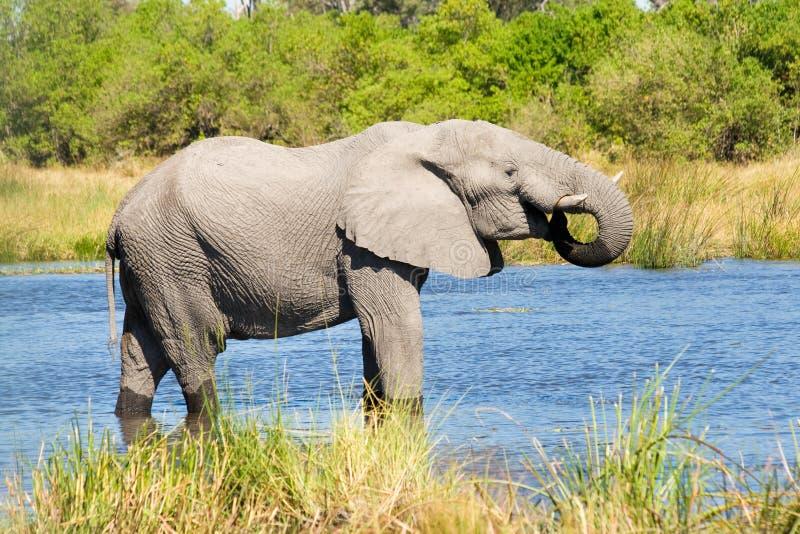 Elefante no rio de Khwai, Botswana fotos de stock