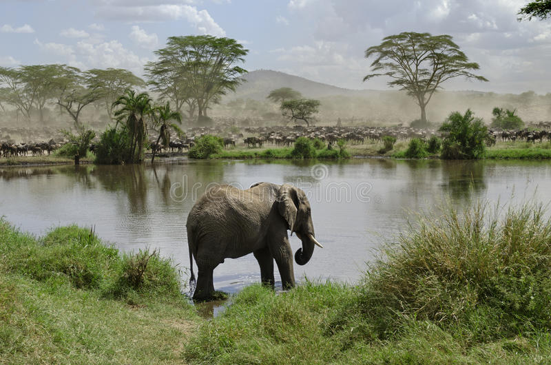 Elefante no rio no parque nacional de Serengeti fotografia de stock royalty free