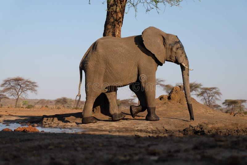 Elefante no waterhole no safari de Senyati fotografia de stock royalty free