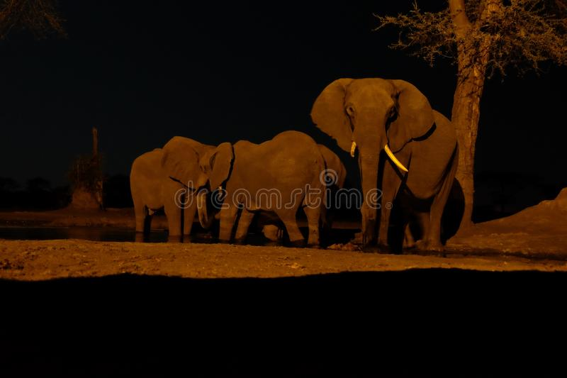 Elefante no waterhole no safari de Senyati na noite fotos de stock royalty free