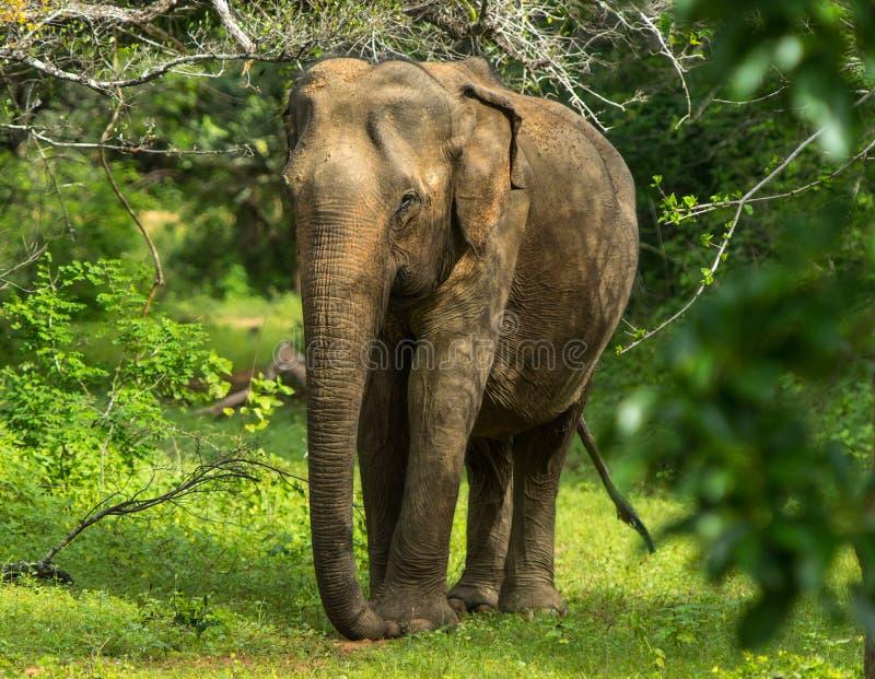Elefante novo asiático, fundo da natureza Yala, Sri Lanka fotografia de stock