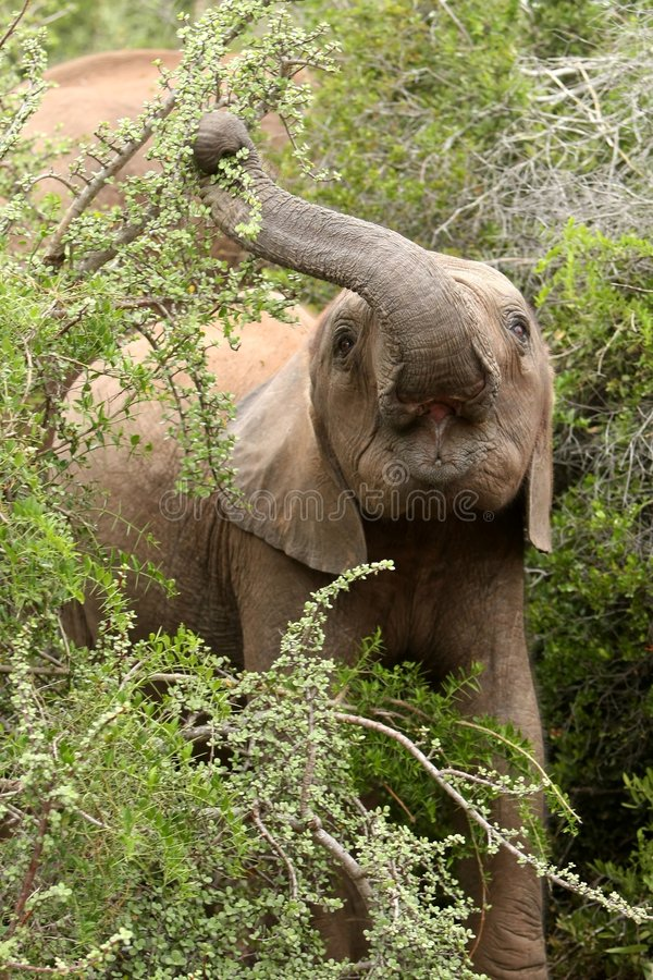 Elefante novo que come as folhas foto de stock