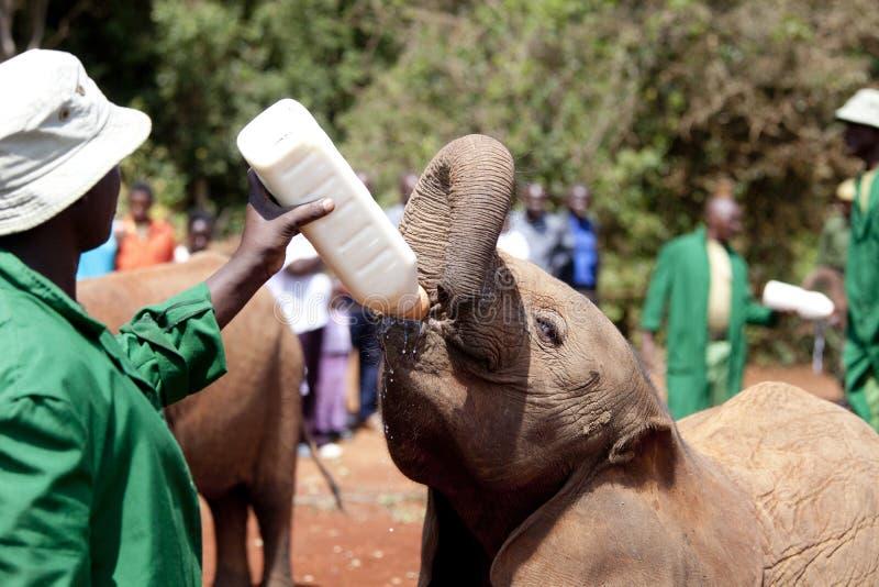 Elefante orfano che è caricato Nairobi, Kenya fotografia stock libera da diritti