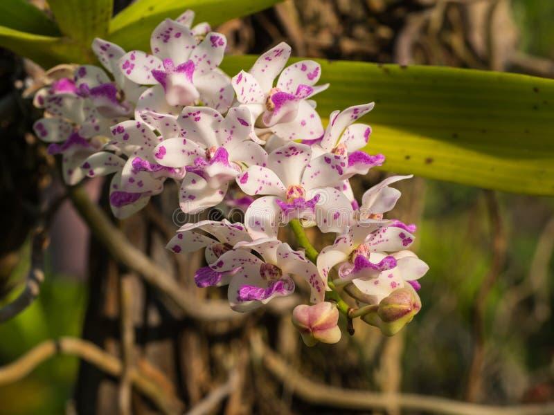 Elefante púrpura blanco de la orquídea fotos de archivo libres de regalías