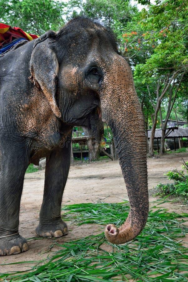 Elefante, Pattaya imagenes de archivo