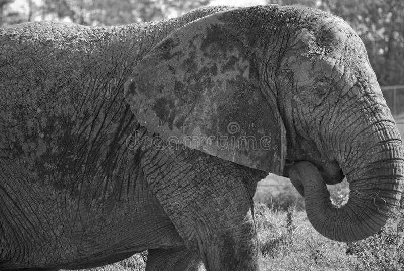 Download Elefante preto e branco foto de stock. Imagem de safari - 16856538