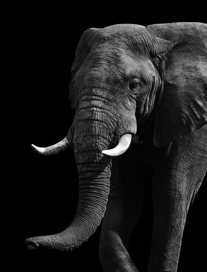 Elefante preto e branco artístico foto de stock