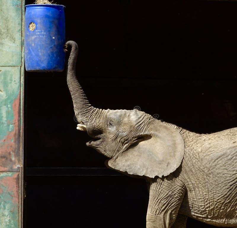 Elefante que alcanza arriba para la comida fotos de archivo