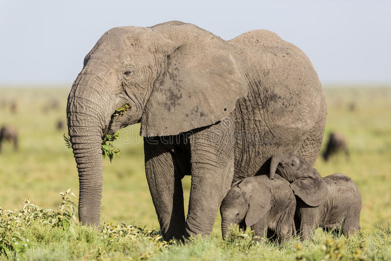 Elefante que alimenta com seus bebês gêmeos, Serengeti da fêmea adulta, Tanzânia foto de stock