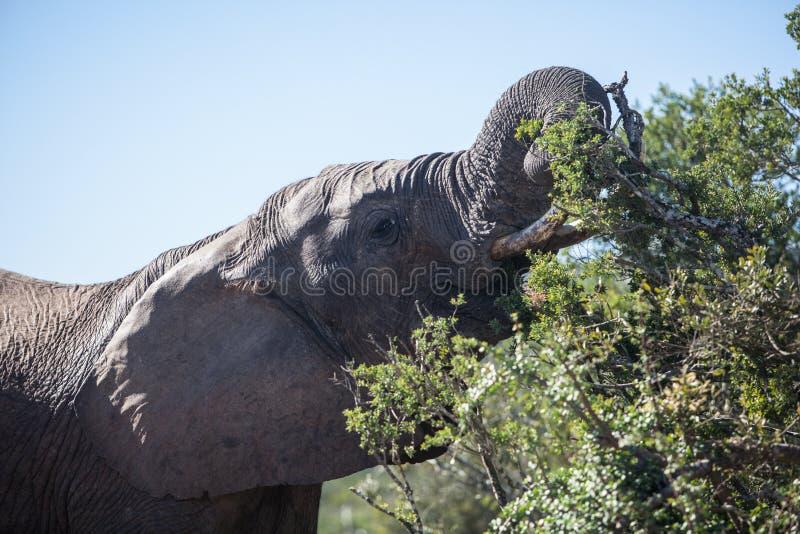 Elefante que alimenta en Suráfrica fotografía de archivo