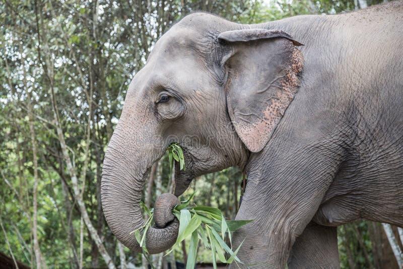 Elefante que alimenta na selva fotografia de stock