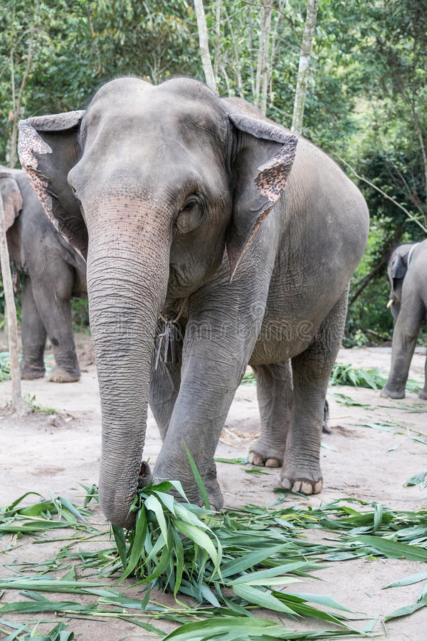 Elefante que alimenta na selva imagens de stock royalty free