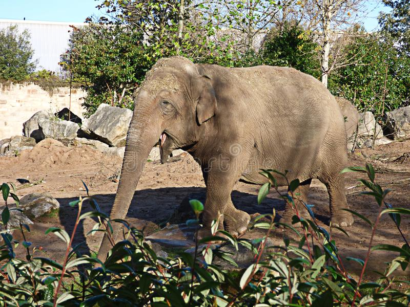 Elefante que anda avante fotografia de stock
