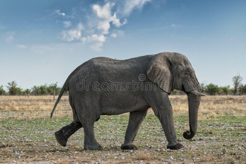 Elefante que anda em um savana africano, com luz bonita do por do sol Etosha nafta foto de stock