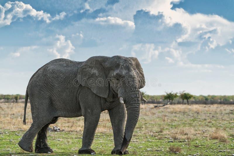 Elefante que anda em um savana africano, com luz bonita do por do sol Etosha nafta imagem de stock