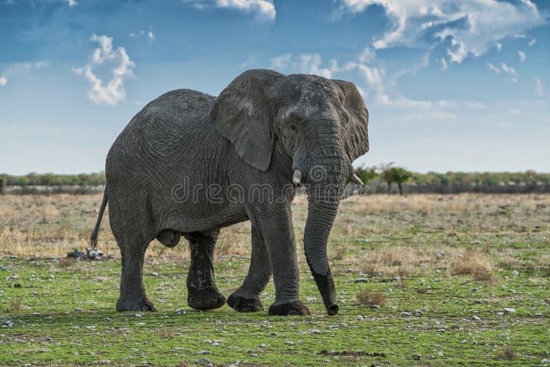 Elefante que anda em um savana africano, com luz bonita do por do sol Etosha nafta fotografia de stock