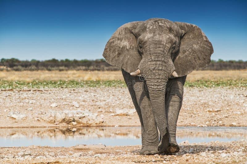 Elefante que anda no savana africano de Etosha nafta fotografia de stock