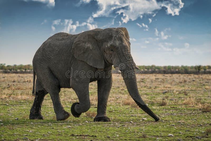 Elefante que anda no savana africano de Etosha nafta Com luz do por do sol imagens de stock royalty free