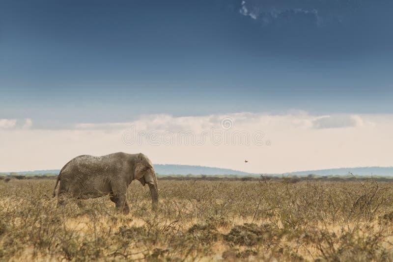 Elefante que anda no savana com luz solar nafta África fotografia de stock