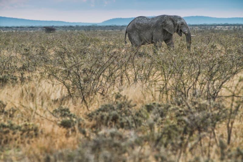 Elefante que anda no savana com luz solar nafta África fotografia de stock royalty free