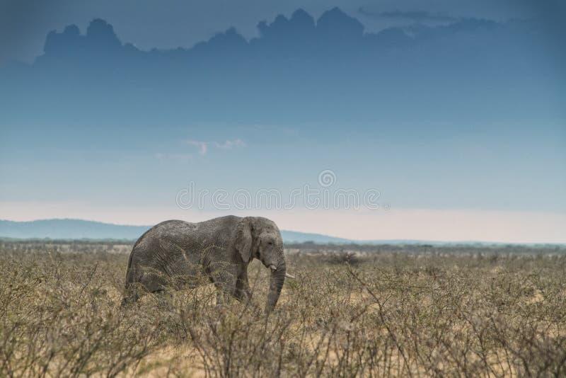 Elefante que anda no savana com luz solar nafta África imagem de stock