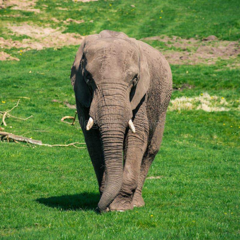 Elefante que anda para a câmera fotos de stock royalty free