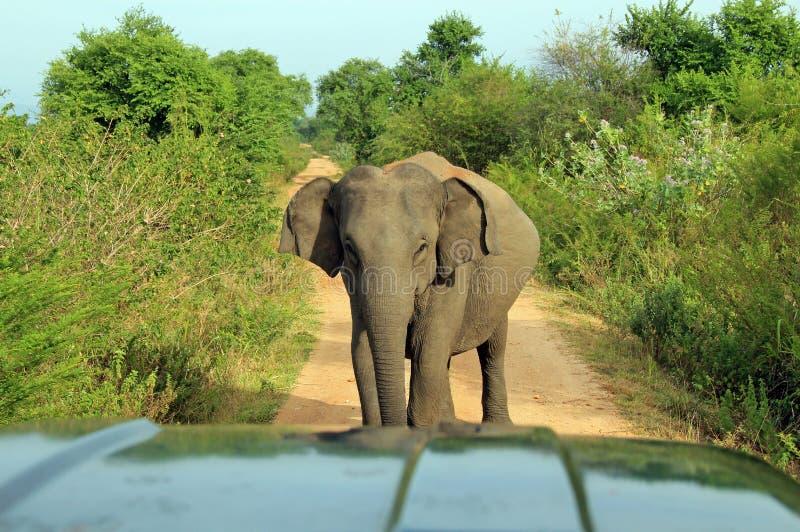 Elefante que bloquea el camino imagenes de archivo