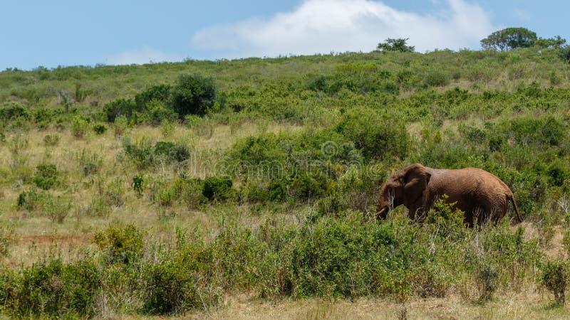 Elefante que camina en el bosque de la hierba larga imagenes de archivo