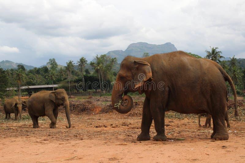 Elefante que camina en la selva en la montaña y el fondo de los árboles fotos de archivo