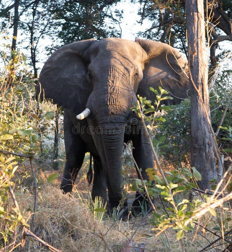 Elefante que carga en selva fotos de archivo