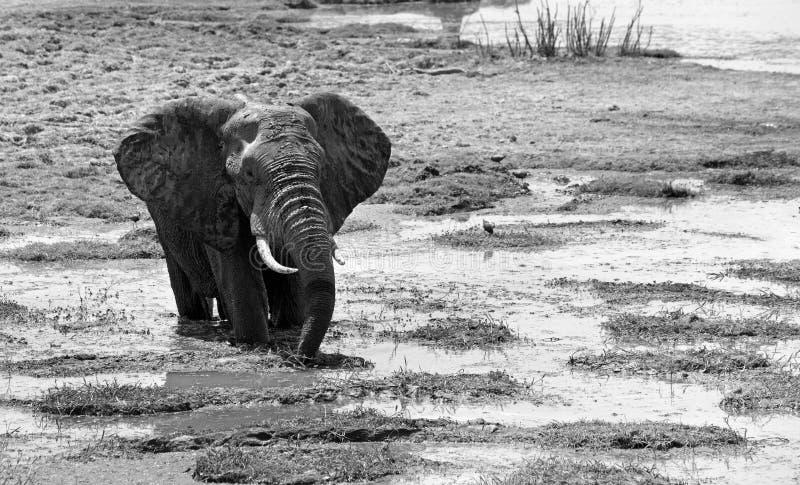 Elefante que chafurda em uma lagoa rasa em preto & em branco imagem de stock