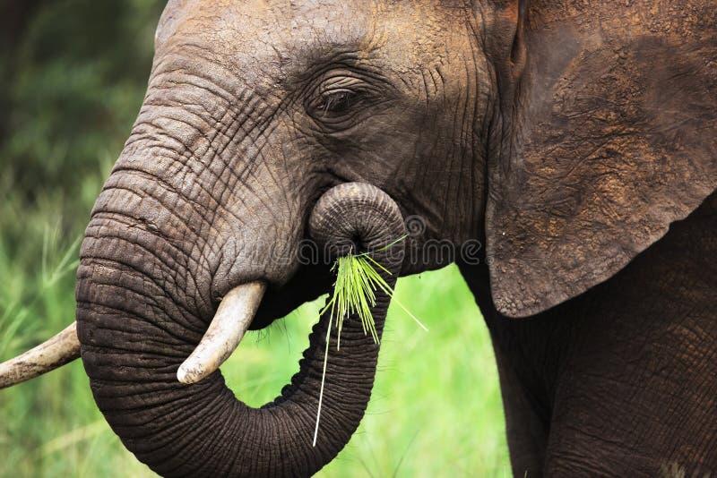 Elefante que come o close-up fotografia de stock