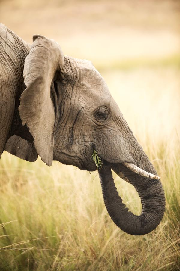 Elefante que come tiros da grama fotos de stock royalty free